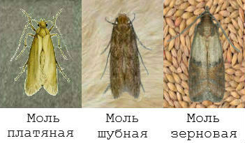 3 вида моли
