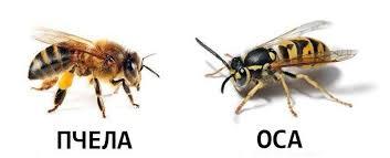 чем отличается пчела от осы фото
