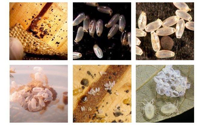 Личинки и яйца клопов фото.