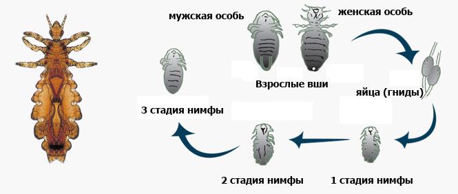 стадии развития вшей