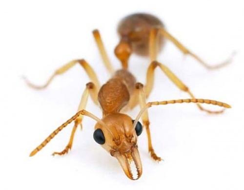 фараонов муравей