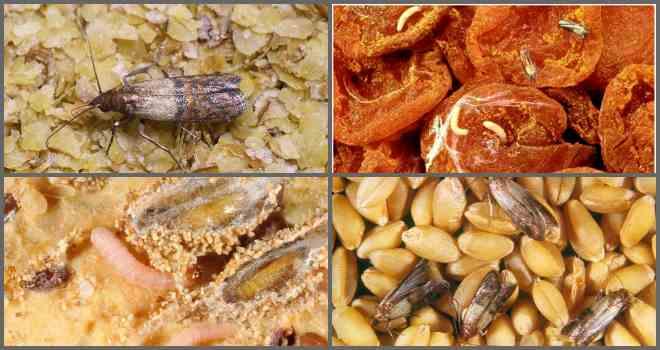 где заводится пищевая моль