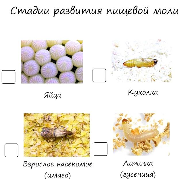 стадии развития пищевой моли