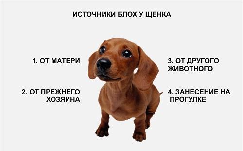 откуда блохи у собаки