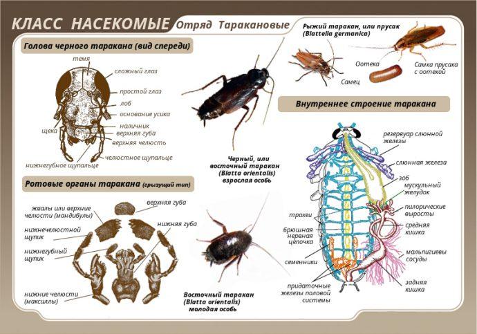 семейство таракановые