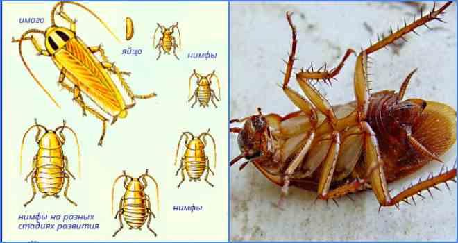 стадия развития тараканов