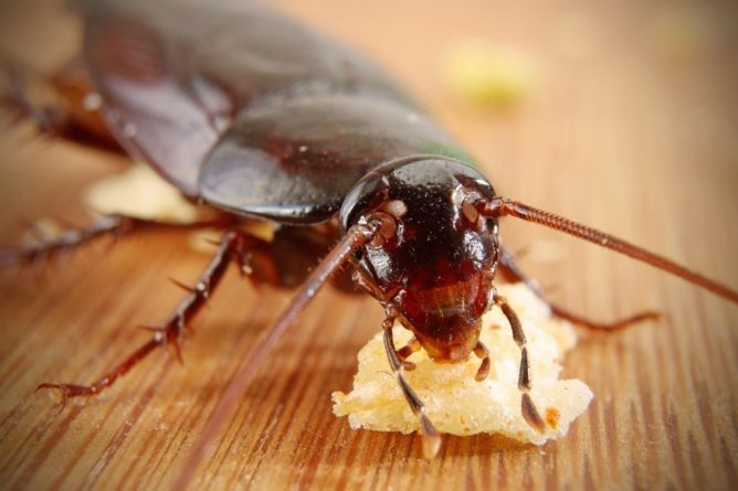 таракан обыкновенный