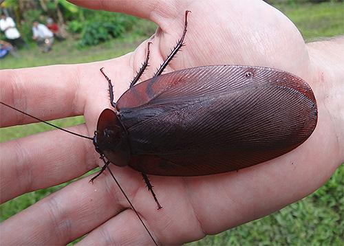 летающий таракан Megaloblatta longipennis