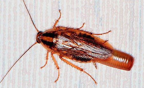 самка рыжий таракан