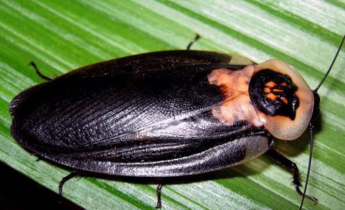 таракан мертвая голова