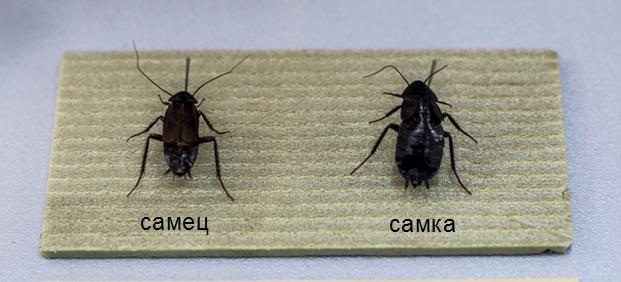самец и самка черного таракана.